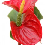 Branches d'anthurium